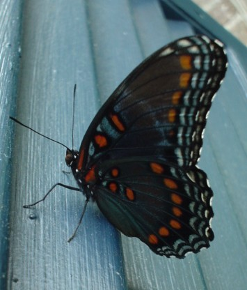 Butterfly - sideview