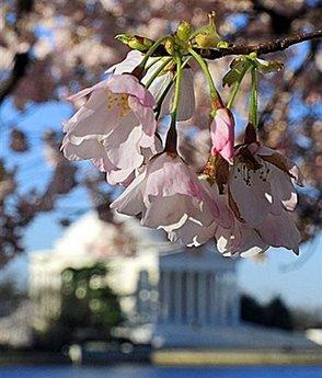 DC blooms